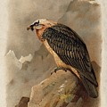 Bearded Vulture By Thorburn by Archibald Thorburn