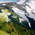 Beargrass Flower On The Slopes Of Mt. Hood by Bruce Block