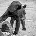 Bear's Log Stash Of Treats - Black And White by Stephanie Forrer-Harbridge