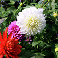 Beautiful And Fresh Dahlias In The Butchrt  Gardens,vancouver Island 1. by Andrew Kim
