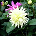 Beautiful And Fresh Dahlias In The Butchrt  Gardens,vancouver Island 2. by Andrew Kim