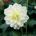 Beautiful And Fresh Dahlias In The Butchrt  Gardens,vancouver Island 3. by Andrew Kim
