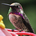Beautiful Anna's Hummingbird On Perch by Jay Milo