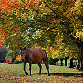 Beautiful Bay Horse In Fall by Sandi OReilly