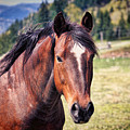 Beautiful Bay Horse In Pasture by Tracie Kaska