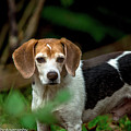 beautiful Beagle by Penny Miller
