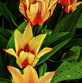 Beautiful Bicolor Tulips by Robert Bales