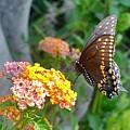 Beautiful Black Swallowtail Butterfly by Kim Bemis