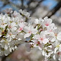 Beautiful Blossoms by Constance Woods