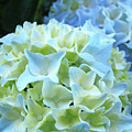 Beautiful Blue Hydrangea Floral Art Prints Creamy White Pastel by Baslee Troutman