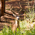Beautiful Buck Deer In The Pike National Forest by Steve Krull