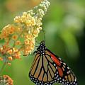 Beautiful Butterfly by Karol Livote