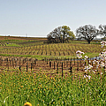 Beautiful California Vineyard Framed With Flowers by Brandon Bourdages