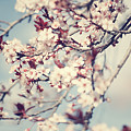 Beautiful Cherry Tree Blossom by Anna Om