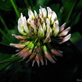 Beautiful Clover Blossom by Joyce Dickens