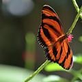 Beautiful Color Patterns To An Oak Tiger Butterfly  by DejaVu Designs