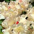 Beautiful Creamy White Pink Rhodies Floral Garden Baslee Troutman by Baslee Troutman