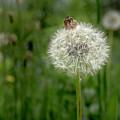 Beautiful Dandelion by Wolfgang Stocker