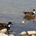 Beautiful Ducks by Todd Blanchard