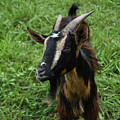 Beautiful Face Of A Billy Goat With Tan And Black Silky Fur by DejaVu Designs
