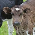 Beautiful Face Of A Brown Calf by DejaVu Designs
