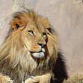 Beautiful Face Of A Lion In The Warm Sunshine by DejaVu Designs