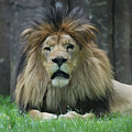 Beautiful Face Of A Male Lion With A Thick Fur Mane by DejaVu Designs