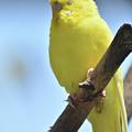 Beautiful Face Of A Yellow Budgie Bird by DejaVu Designs