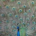 Beautiful Feathers by Patty Vicknair