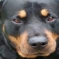 Beautiful Female Rottweiler Portrait Vector by Tracey Harrington-Simpson