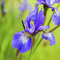 Beautiful Flower Iris by Anna Matveeva