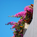 Beautiful Flowering Vine On Patmos Island Greece by Just Eclectic