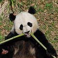 Beautiful Giant Panda Eating Bamboo From The Center by DejaVu Designs