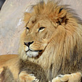 Beautiful Golden African Lion Relaxing In The Sunshine by DejaVu Designs