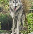 Beautiful Gray Wolf by Joan Wallner