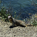 Beautiful Ground Squirrel Standing At The Edge Of The Coast by DejaVu Designs