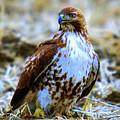 Beautiful Hawk by Jeff Swan