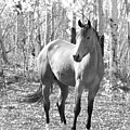 Beautiful Horse In Black And White by James BO  Insogna