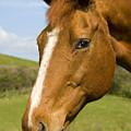 Beautiful Horse Portrait by Meirion Matthias