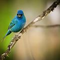 Beautiful Indigo Bird by Chad Davis