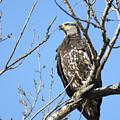 Beautiful Juvenile Eagle by Brook Burling