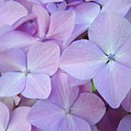 Beautiful Lavender Purple Hydrangea Flowers Baslee Troutman by Baslee Troutman