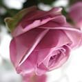 Beautiful Lavender Rose 2 by Tara  Shalton