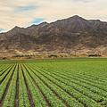 Beautiful Lettuce Field by Robert Bales