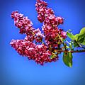 Beautiful Lilac by Robert Bales