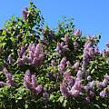 Beautiful Lilacs Day by Carol Groenen