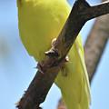 Beautiful Little Yellow Budgie Bird In Nature by DejaVu Designs