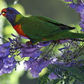 Beautiful Lorikeet by Brian Leverton