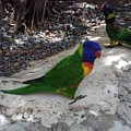 Beautiful Lorikeets by Gina Sullivan