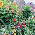Beautiful Lot Of Dahlias,butchart Gardens,victoria,canada by Andrew Kim